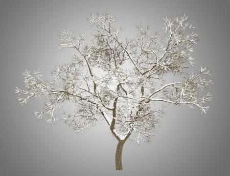 english oak: winter english oak tree isolated on gray background