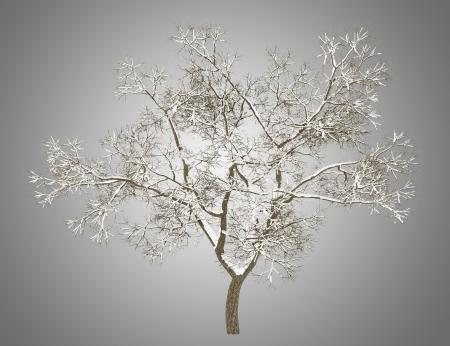 english oak: winter english oak tree isolated on gray background