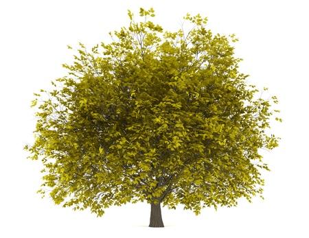 hornbeam: fall hornbeam tree isolated on white background