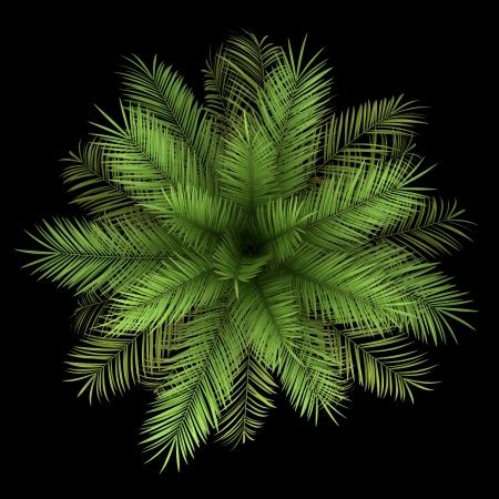 Vue de dessus du palmier dattier isolé sur fond noir Banque d'images - 20202303
