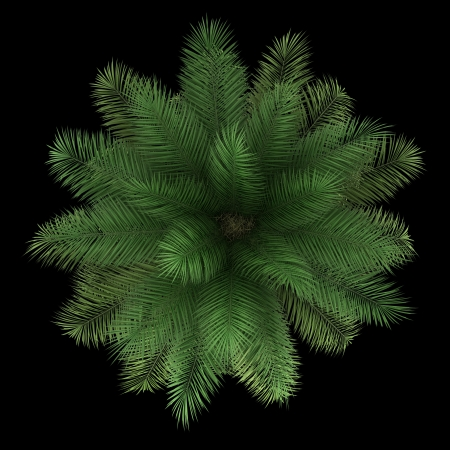 top view of chilean wine palm tree isolated on black background