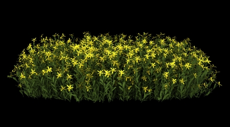 broom flowers isolated on black background photo