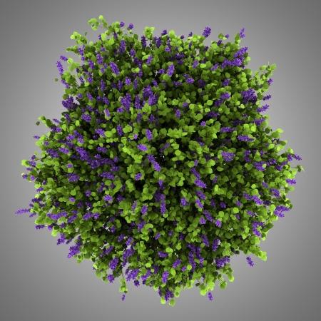 bovenaanzicht van lila bloemen struik die op grijze achtergrond