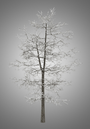 basswood: winter common lime tree isolated on gray background