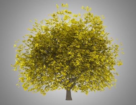 hornbeam: fall hornbeam tree isolated on gray background