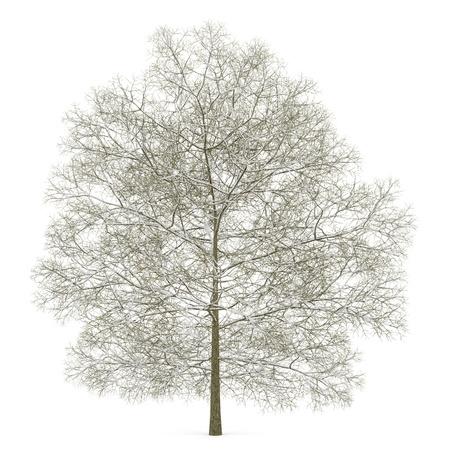 castagno inverno isolato su sfondo bianco Archivio Fotografico