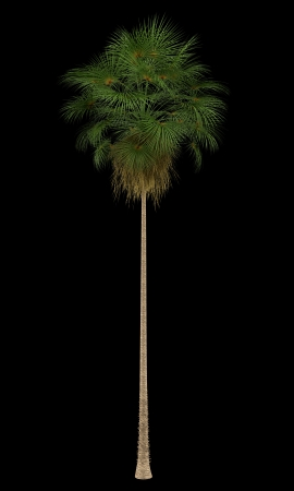 robusta: Mexican Fan palm tree isolated on black background Stock Photo