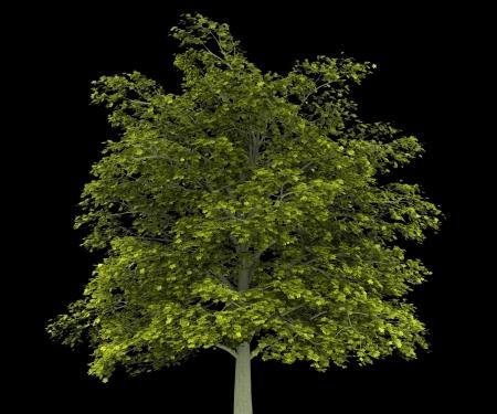 norway maple: norway maple tree isolated on black background