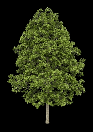 acer platanoides: norway maple tree isolated on black background
