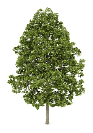 acer platanoides: norway maple tree isolated on white background