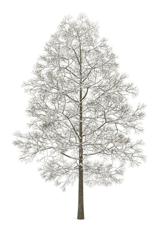winter norway maple tree isolated on white background