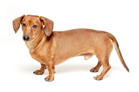 cute brown dachshund dog isolated on white background photo