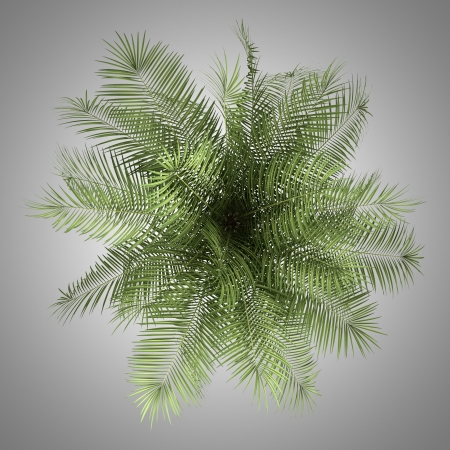 top view of palm tree isolated on gray background Stock Photo