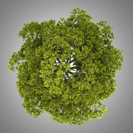 acer platanoides: top view of norway maple tree isolated on gray background