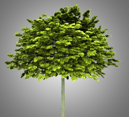 acer platanoides: norway maple tree isolated on gray background