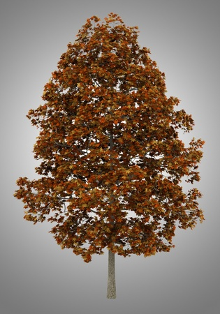 acer platanoides: fall norway maple tree isolated on gray background Stock Photo
