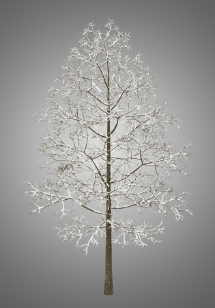 acer platanoides: winter norway maple tree isolated on gray background