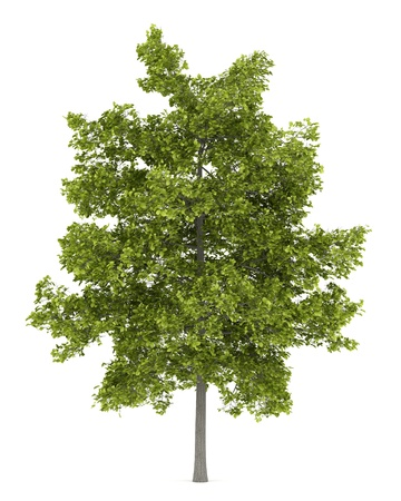 common lime tree isolated on white background photo
