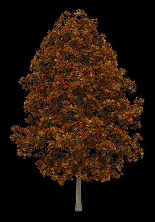 fall norway maple tree isolated on black background photo