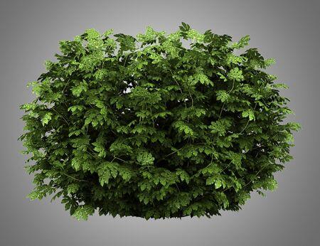 aralia: japanese aralia bush isolated on gray background