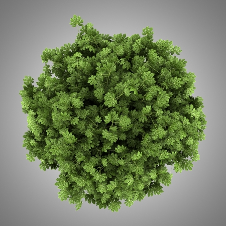 aralia: top view of japanese aralia bush isolated on gray background
