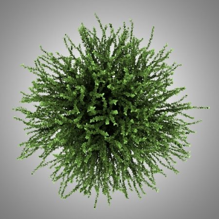 top view of coral beauty bush isolated on gray background Stock Photo