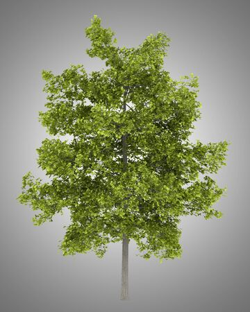 basswood: common lime tree isolated on gray background