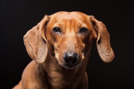 portrait of cute brown dachshund dog isolated on black background photo