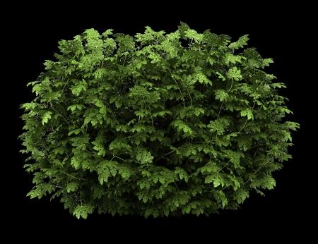 aralia: japanese aralia bush isolated on black background