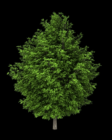 saccharum: silver maple tree isolated on black background