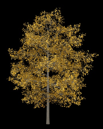 basswood: fall common lime tree isolated on black background