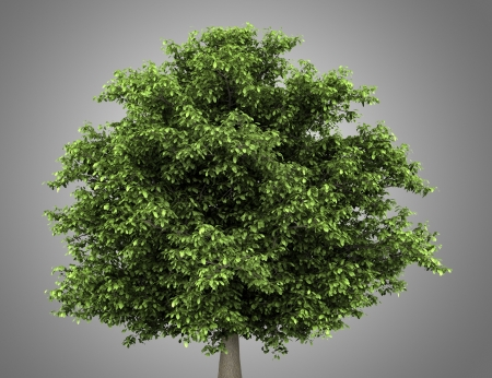 aesculus hippocastanum: horse chestnut tree isolated on gray background Stock Photo