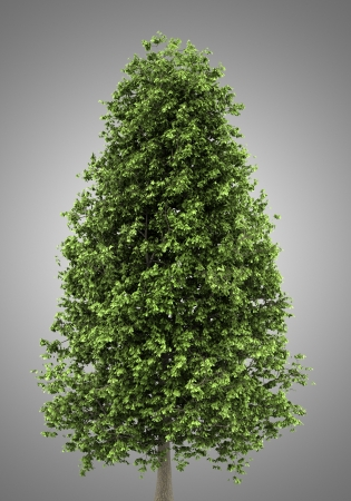chestnut tree: horse chestnut tree isolated on gray background Stock Photo