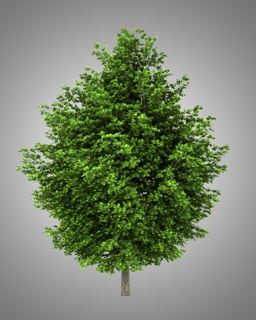 silver maple: silver maple tree isolated on gray background Stock Photo