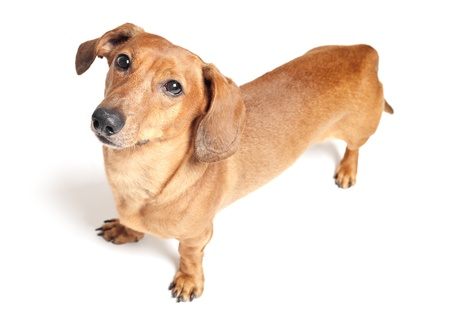 cute brown dachshund dog isolated on white background Stock Photo - 20597471