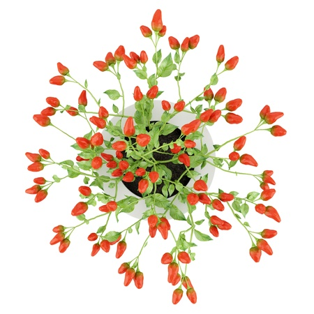 top view of paprika plant in pot isolated on white background Stock Photo - 20597472