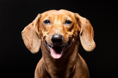 portrait of cheerful brown dachshund dog isolated on black background photo