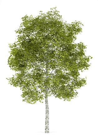 자작 나무는 흰색 배경에 고립 스톡 콘텐츠