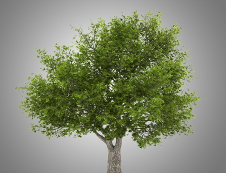 crack willow: crack willow tree isolated on gray background