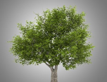 salix fragilis: crack willow tree isolated on gray background