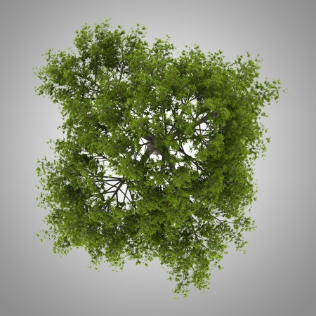 top view of crack willow tree isolated on gray background
