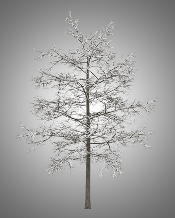 winter common lime tree isolated on gray background photo