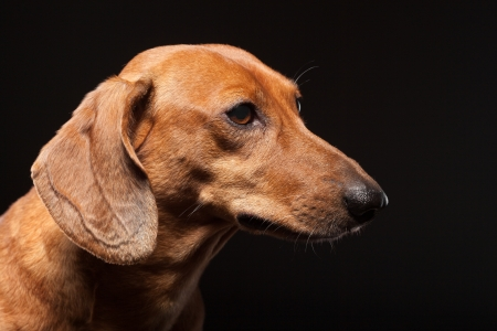 portrait of cute brown dachshund dog isolated on black background with copyspace photo