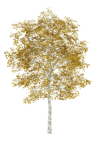 fall birch tree isolated on white background