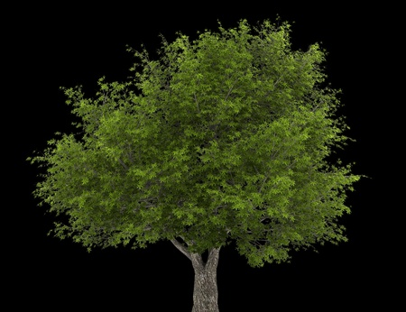 crack willow tree isolated on black background Stock Photo - 20722838