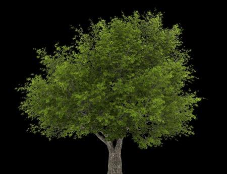 salix fragilis: crack willow tree isolated on black background