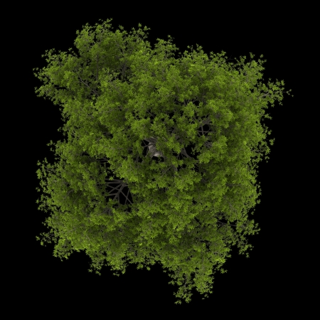crack willow: top view of crack willow tree isolated on black background Stock Photo