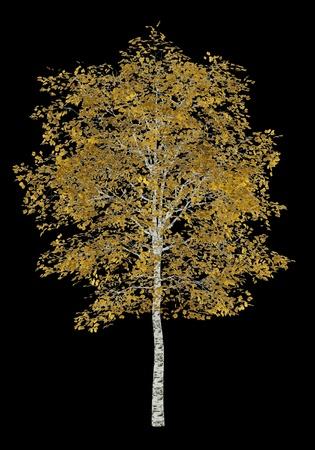 birch tree: fall birch tree isolated on black background