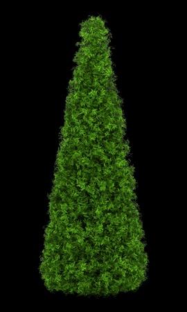 arborvitae: eastern arborvitae bush isolated on black background
