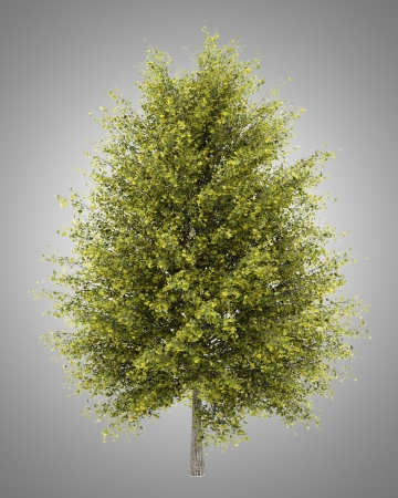 ginkgo: ginkgo tree isolated on gray background